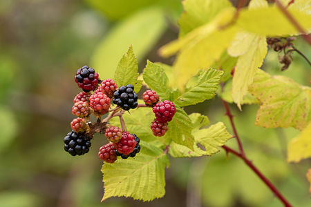 grouping of red and black blackberries in summer season in the pacific northwest