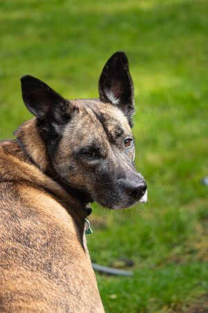 Photo pour large female mixed breed dog sitting and looking over her shoulder - image libre de droit
