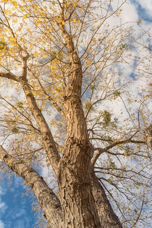 Foto de Vertical upward perspective vibrant yellow maple leaves changing color during fall season in Dallas, Texas, USA. Tree tops converging into blue sky. Nature wood forest, canopy of tree branches - Imagen libre de derechos