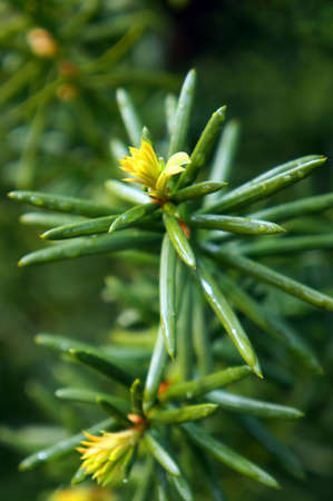 Yew tree (Taxus cuspidata). Growing branches with young green needles. Selective focus.