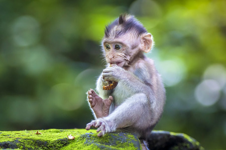 Little baby-monkey in monkey forest of Ubud, Bali, Indonesia