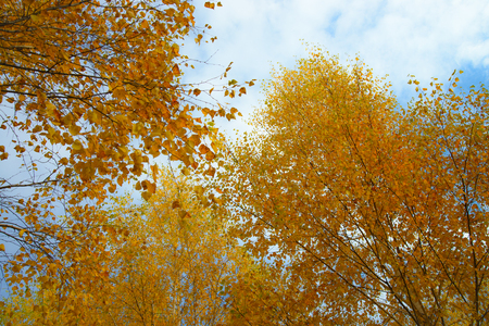 Yellow autumn leaves on background of blue cloudy sky. Bottom view of gold tree tops in good sunny weather.の素材 [FY31092095744]