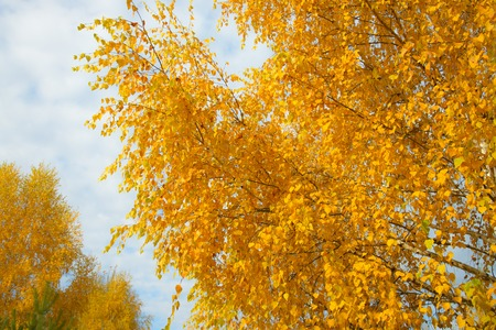 Yellow autumn leaves on background of blue cloudy sky. Bottom view of gold tree tops in good sunny weather.の素材 [FY31092092719]