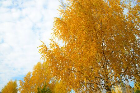 Yellow autumn leaves on background of blue cloudy sky. Bottom view of gold tree tops in good sunny weather.の素材 [FY31092091863]