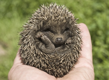 Small hedgehog who is in a hand of the personの写真素材