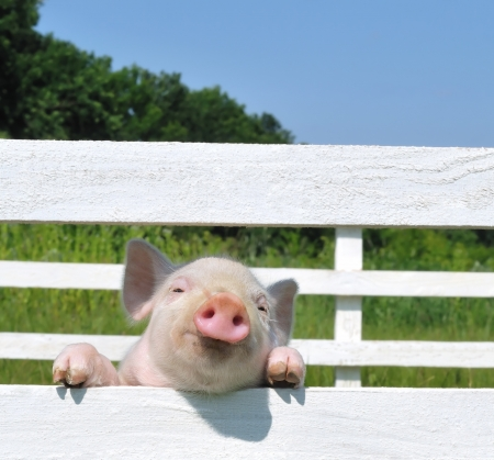 small pig on a grassの写真素材