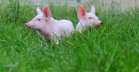 small pigs on a grass の写真素材