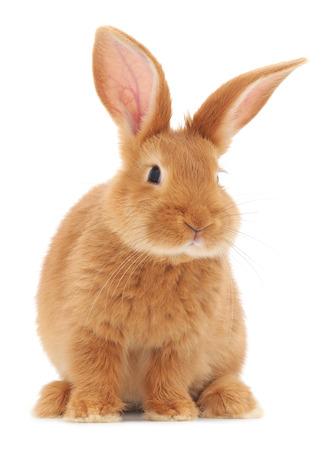 Foto de Isolated image of a brown bunny rabbit. - Imagen libre de derechos