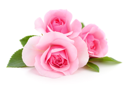 Photo for Three beautiful pink roses on a white background. - Royalty Free Image