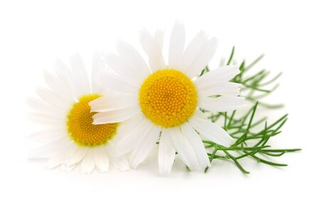 Photo pour Bouquet of Chamomile flowers isolated on white background - image libre de droit