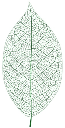 Layered Illustration Of Leaf Vein