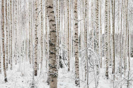 Trees in forest in the winter.White snow covering the trees.