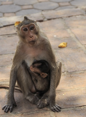 mother and Baby long-tailed macaque monkey