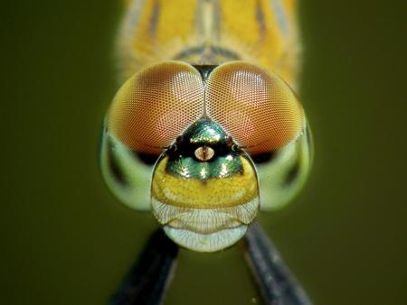 Photo pour Dragonfly closeup - image libre de droit