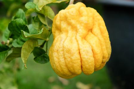 Buddha's Hand fingered citron, A unique ripe yellow fruit that strange shape than other orange