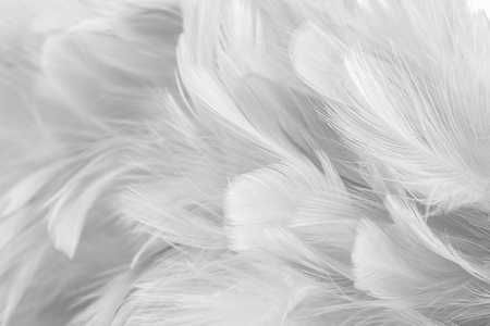 Photo pour Abstract background Bird and chickens feather texture ,blur style and soft color of art design - image libre de droit