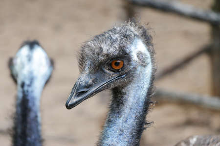 Photo pour close up of an emu head, The emu is the second-largest living bird by height, after its ratite relative, the ostrich ,Portrait of Australian Emu - image libre de droit