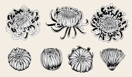Illustration pour Chrysanthemum vintage card on white background. Chrysanthemum flower by hand drawing. Floral vintage highly detailed in line art style. - image libre de droit