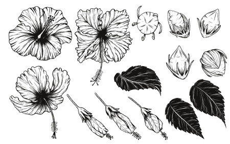Illustration for Hibiscus flower vector set by hand drawing. - Royalty Free Image