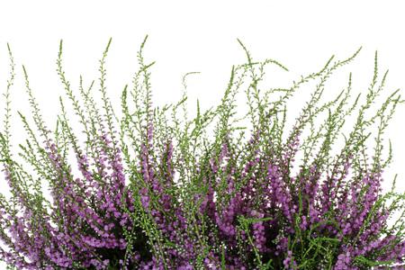 Heather, Calluna vulgaris