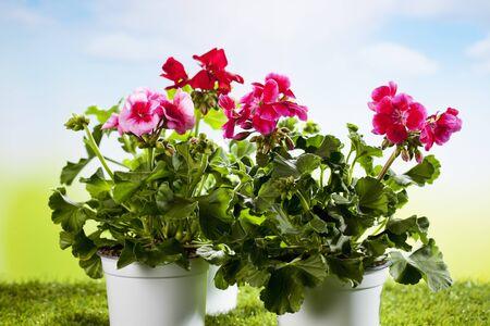 Flowerpot with geranium on grass