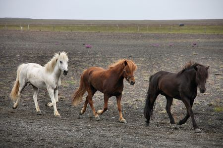 Icelandic horses on a gloomy day. White, brown and black horse.