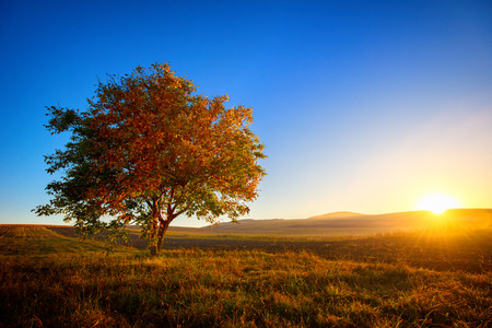 Photo pour Walnut tree alone in the filed at sunset - image libre de droit