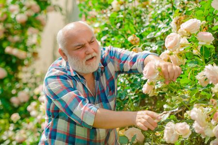 Photo for Flower rose care and watering. Grandfather gardening. Hobbies and leisure. - Royalty Free Image