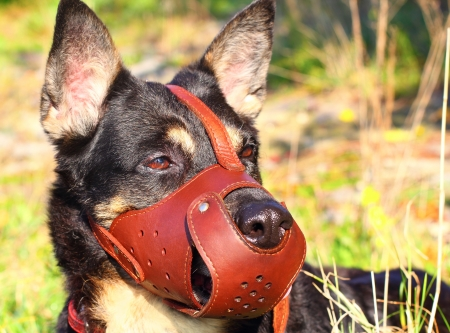 Shepherd dog closeup with a muzzle on