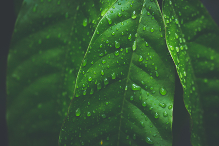 Close-up of dew droplets over on fresh green natural leaves in raining season in dark tone
