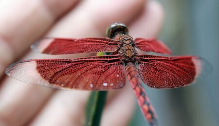 Resting without fear the red dragonfly