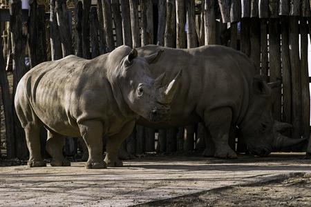 Photo pour Southern White Rhinoceros Ceratotherium simum simum in zoo - image libre de droit