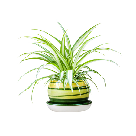 Photo for Chlorophytum comosum (also known spider plant, airplane plant, St. Bernard's lily, spider ivy, ribbon plant, and hen and chickens) in a pot isolated on white background with clipping path - Royalty Free Image