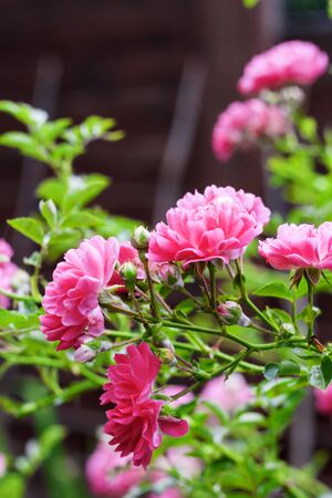 Photo pour Flowers of climbing roses closeup in sunny summer day - image libre de droit