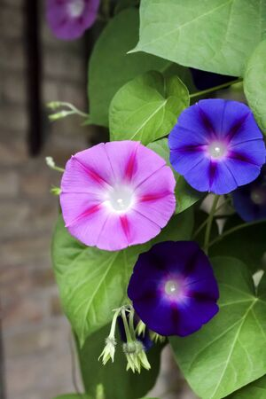 Photo for Purple and blue Morning Glory (Ipomoea) flowers climbing, closeup - Royalty Free Image