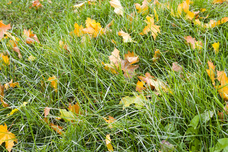 Foto per green grass with autumn leaves background. nature, seasonal - Immagine Royalty Free