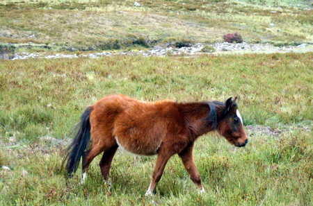 Miniature horse in locomotion, natural environment