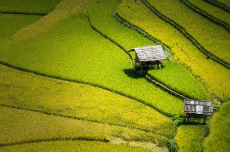 Closeup Rice fields on terraced of Mu Cang Chai District, YenBai province, Northwest Vietnam