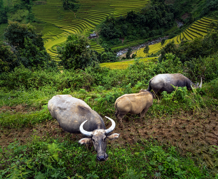 Three buffalo at the Rice fields on terraced of Mu Cang Chai District at sunrise time, YenBai province, Northwest Vietnam