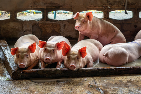 Young pigs in hog farms, Pig industry