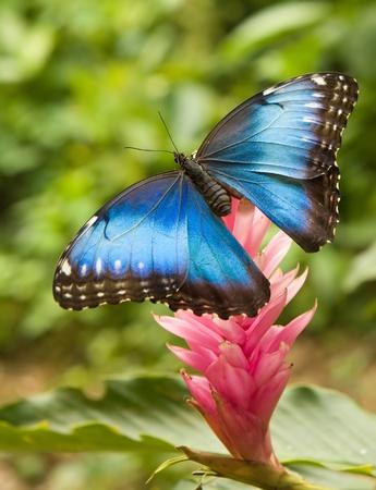 Foto de Blue Morpho butterfly on a ginger flower - Imagen libre de derechos