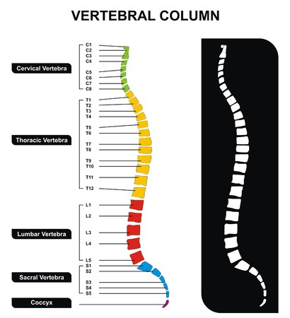 Vector Vertel Column Spine Diagram including Verte ... on spine layout, spine joints, spine icon, spine numbering, spinal cord injury, pharyngeal arch, spine surgery, spine cartoon, spine too straight, spine fracture, spine graphic, skeletal pneumaticity, spine with nerves, spine segments, spine drawing, spine chart, spine with numbers, spine clipart, spine model, spine x-ray, spine l5-s1, spine anatomy, spine bones,