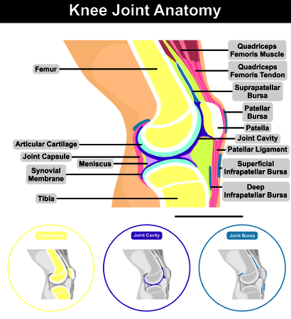 Human Knee Joint Anatomy Structure Contents Including Bones Femur