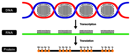 Vektor für Formation of mRNA RNA and Protein by DNA strand in two stages transcription and translation - Lizenzfreies Bild