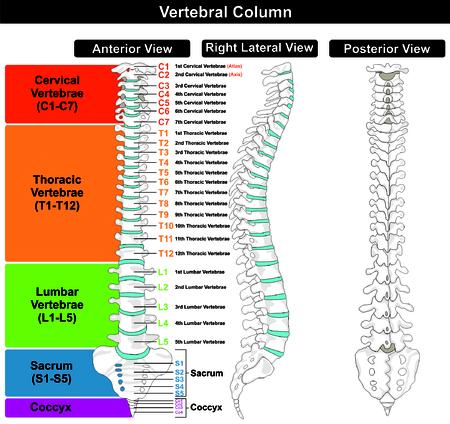 Illustration pour Vertebral Column spine structure of human body - image libre de droit