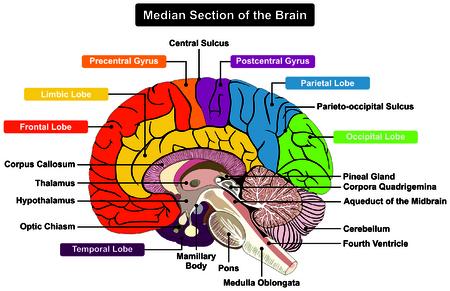 Illustration pour Median Section of Human Brain Anatomical structure diagram infographic chart  with all parts cerebellum thalamus, hypothalamus lobes, central sulcus medulla oblongata pons pineal gland figure - image libre de droit