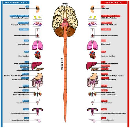 Illustration pour The Autonomic Nervous System subdivided into Sympathetic and Parasympathetic effect - image libre de droit