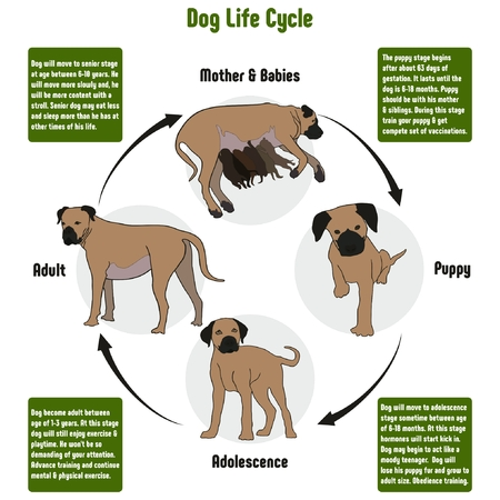 Foto de Dog Life Cycle Diagram with all stages including birth mother and babies puppy adolescence adult simple useful chart for biology science education - Imagen libre de derechos