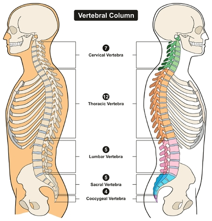 Illustration pour Vertebral Column of Human Body Anatomy infograpic diagram including all vertebra cervical thoracic lumbar sacral and coccygeal for medical science education and healthcare - image libre de droit