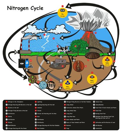 Illustration for Nitrogen Cycle infographic diagram showing how nitrogen go in circulation with human environment factors nitrification fixation ammonification plant animal fossil fuel rain lightning volcano education with map keys - Royalty Free Image